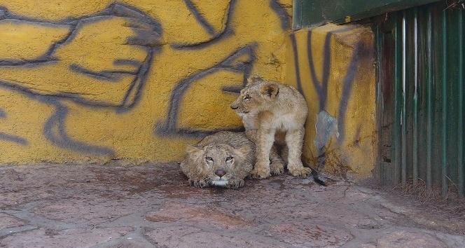 Cumhurbaşkanı Erdoğan'ın aslanlarının Gaziantep yolculuğu