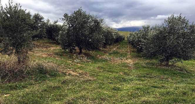 Manisa'da bin 500 zeytin ağacı taşındı