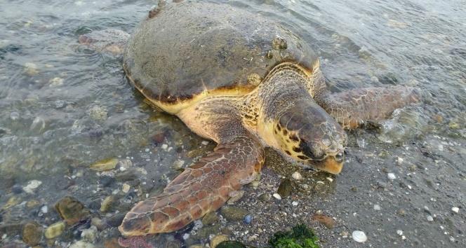 Çanakkalede sahile caretta caretta vurdu