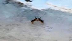 Tavşanların kavgası kameralara takıldı