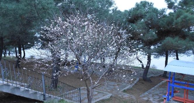 Şeftali ağacı Şubatta çiçek açtı