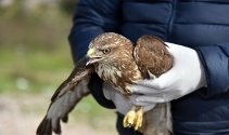Alanya'da tedavisi tamamlanan 2 şahin doğaya salındı