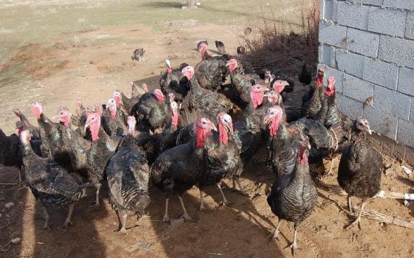 Bitlis'in ilk hindi çiftliği kuruldu