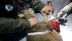 Rizede yaralı karaca kurtarılarak tedavi altına alındı