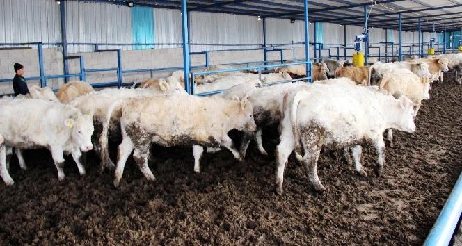Devlet desteği ile damızlık inek ithal etti