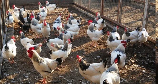 Üniversiteden organik tavuk ve yumurta