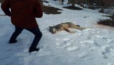 Ağrıda köye inen kurt köpekler tarafından parçalandı