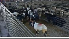 Aslanapada hayvan pazarının ihalesi yapıldı