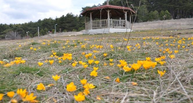 Gölcük Yaylasında baharın müjdecisi çiğdemler bu yıl erken açtı