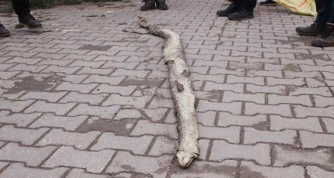 Tekirdağda 3 metre 20 santim uzunluğunda yılan bulundu