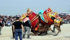 Salihlide geleneksel deve güreşi iptal