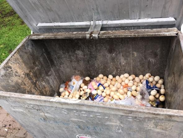 Çöpe atılan yumurtalardan civciv çıktı