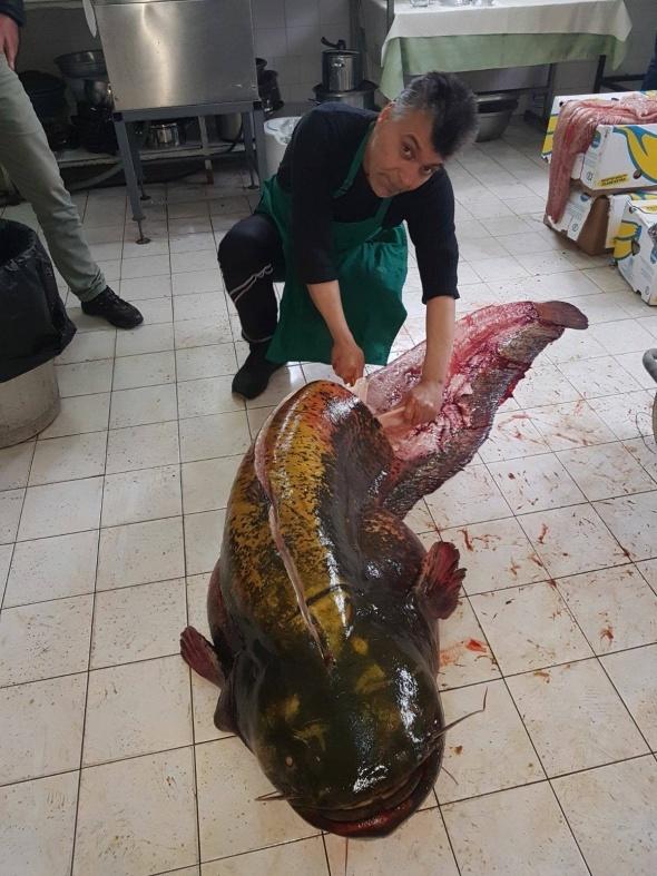 2 metre 10 santim boyunda dev yayın balığı