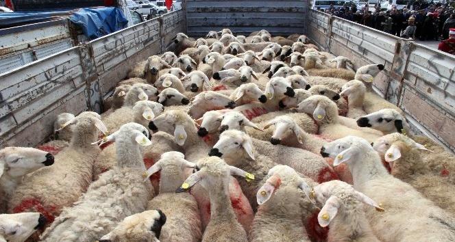 Mehmetçik için kurbanlık koyun gönderildi