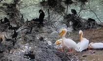 Pelikanlar Amasya'ya erken geldi