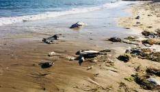 Sinopta ölü yunuslar kıyıya vurdu