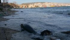 Sinopta kıyıya vuran yunus sayısı 32 oldu