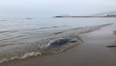 Karadenizde son 11 günde 37 yunus karaya vurdu