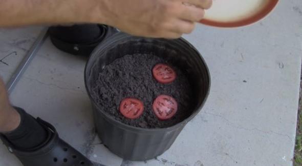 Çürüyen domatesleri saksıya gömdü... Birkaç hafta sonra gördüklerine inanamadı
