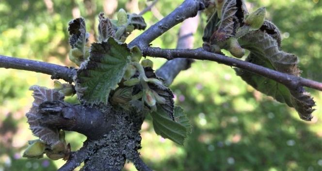 Fındık bahçelerindeki yeni tehlikenin ne olduğu açıklandı: Bakteriyel Yanıklık Hastalığı