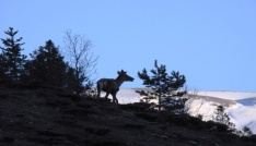 Giresunda 2 erkek kızıl geyik doğaya salındı
