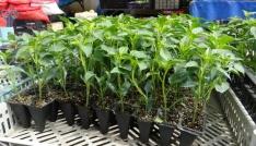 Karsta bostan tohumlara piyasa çıktı