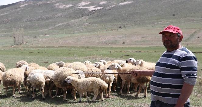 Çobanlar fiyat arttırınca, kendi sürüsüne çoban oldu