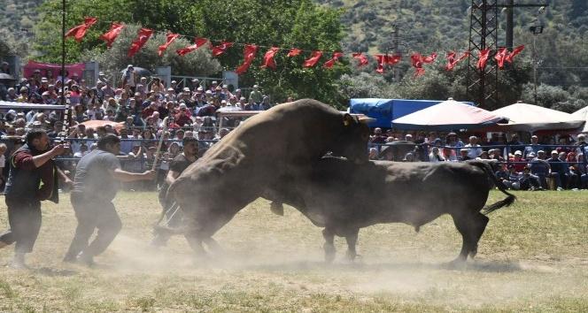 Boğalar Zeytin Spor için güreşti