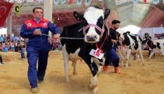 Burdurda damızlık inek yarışması