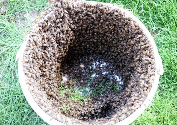 Arılar bulvarı istila etti! Bal arılarını çıplak elle toplayıp boş kovaya doldurdu