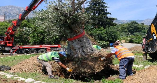 Kemer'e asırlık zeytin ağaçları