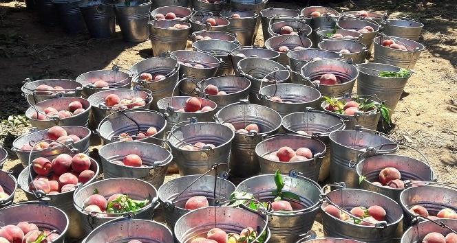 Aydın'da proje bahçelerinde şeftali hasadı başladı