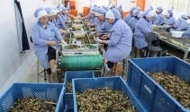 Zonguldaktan Avrupaya yılda bin 200 ton salyangoz ihraç ediyorlar