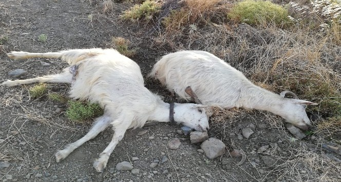 'Sınır ihtilafı' dedi, 25 keçiyi telef etti