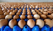 Tavuk yumurtası üretimi yüzde 3,3 azaldı