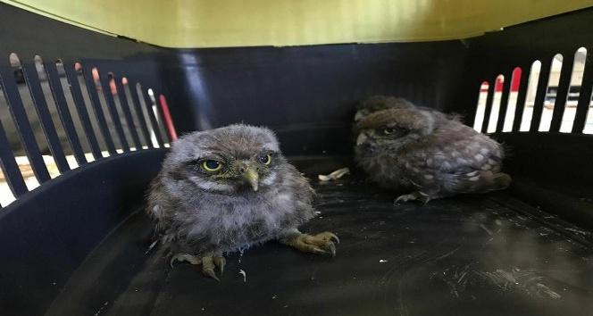 Yavru baykuşlar tedavi için İstanbula gönderildi