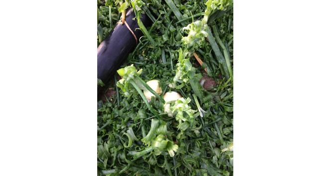 Amasyada ekili tarlaları dolu vurdu
