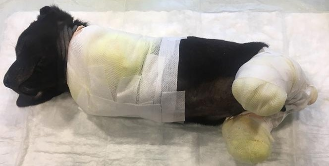 4 ayağı kesilen köpek öldü