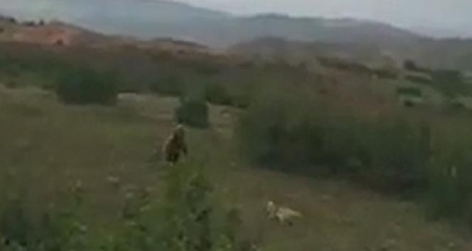 Kangal köpeği ayıya meydan okudu