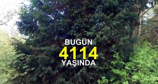 Dünyanın en yaşlı ağacını dünyaya tanıttılar