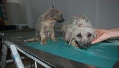 Bakımsız köpekler tedavi altına alındı