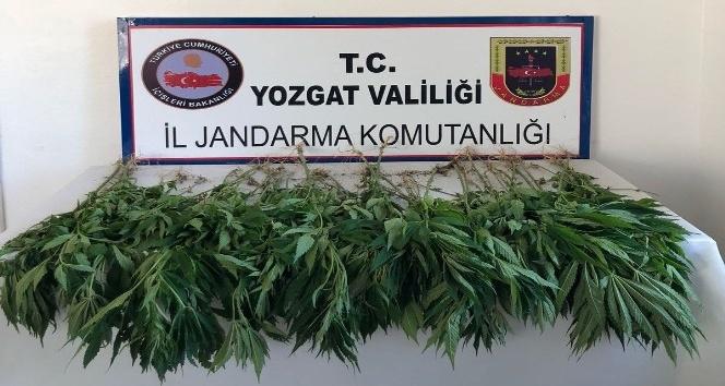 Jandarma ekipleri 71 kök hint keneviri ele geçirdi