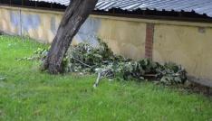 Bozüyükte ıhlamur ağaçları talan ediliyor