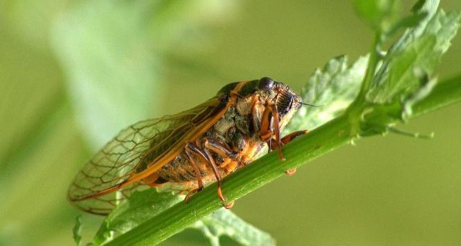 Kayısı üreticilerine Ağustosböceği uyarısı