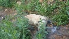 Sürüden ayrılan koyunlara kurtlar saldırdı, 40ı telef oldu