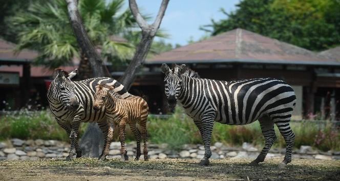 (ÖZEL HABER) - Bursa'da bir haftalık zebra yavrusu ilgi çekiyor