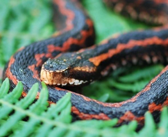 Trabzon'da görülmüştü! 2 metre boyundaki yılan...