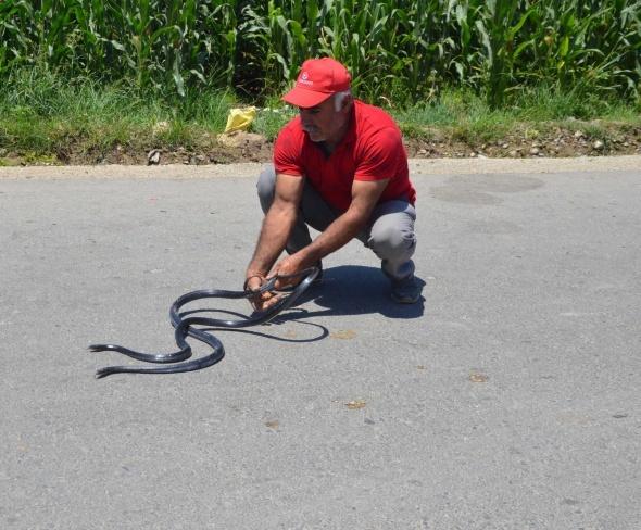 Zehirli yılanları çıplak eliyle yakalıyor