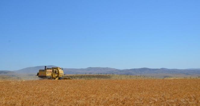 Arguvan'da Sarı Bursa Buğdayı ekildi