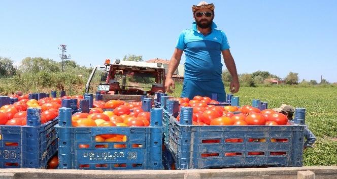 Bafra'da yetişen domates tüketicinin imdadına yetişti